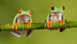 SPC Merit Award - Malcolm Jenkin (England)  Pair Of Red Eyed Tree Frogs