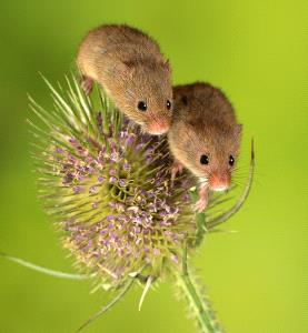 SPC Silver Medal - Barbara Jenkin (England)  Mice On Teasel