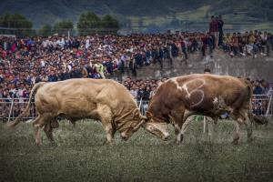 IUP Gold Medal - Xiaoyue Yan (China)  Cattle Fight
