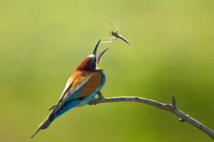 SPC Merit Award - Pal Teravagimov (Germany)  Bee Eater With A Dragonfly