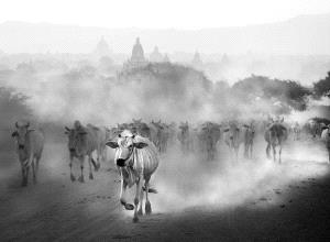 SPC Merit Award - Wendy Wai Man Lam (Hong Kong)  Cows 3 Bw