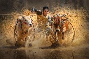SPC Bronze Medal - Ya Kuang (China)  Fleeing Cattle