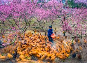 PSA HM Ribbons - Liangquan Yu (China)  Raise Chickens In Peach Orchard
