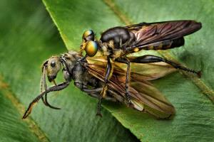 SPC Merit Award - Foo Say Boon (Malaysia)  Robber Fly With Prey 4