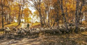 SPC Merit Award e-certificate - Hsiuling Chiu (Taiwan)  Sheep Grzaing In Birch Forest