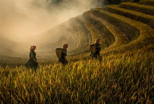 SPC Merit Award e-certificate - Dao Tien Dat (Vietnam)  Ripe Paddy Season In Tay Bac Terraces No 1