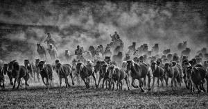 PhotoVivo Honor Mention e-certificate - Lee Eng Tan (Singapore)  Mongol Horses Mono Charge