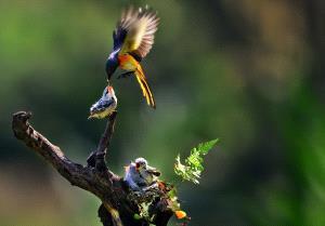 SPC Merit Award e-certificate - Hendro Hioe (Indonesia)  Mantenan Bird Feeding 5