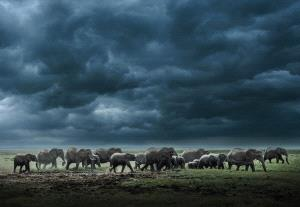 PhotoVivo Gold Medal - Weijun Chen (China)  Elephant Group
